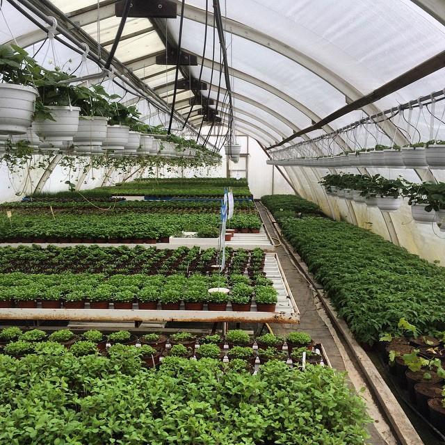Viljelyksessä on myös eri yrttejä ja vihanneksien taimia.