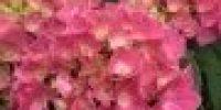 hortenisa_ vaaleanpunainen