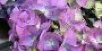hortensia_ sininen
