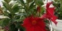 maljaköynnös amp_ punainenb