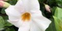 maljaköynnös_ valkoinen