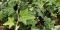 muratti_ vihreä