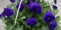 orvokki amp_ deep blue