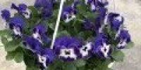 orvokki amp_ delft blue