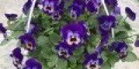 orvokki amp_ violet blue
