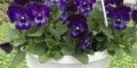 orvokki amp_ violet face