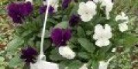 orvokki amp_ white_bright purple