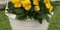 orvokki amp_ yellow
