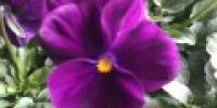 orvokki_ bright purple (S)