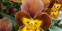 orvokki_ honeybee (S)