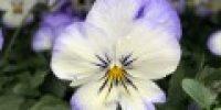 orvokki_ purple picotee (S)