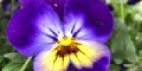 orvokki_ violet face (S)
