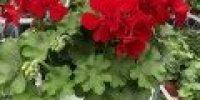 pelargoni amp_ punainen