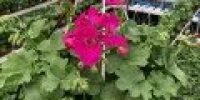 pelargoni amp_ violetti