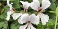 pelargoni riippuva_ cascade valkoinen