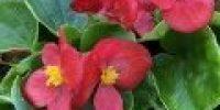 Annansilmä, punainen