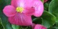 Annansilmä, vaaleanpunainen (Smaller 120 x 120)