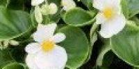 Annansilmä, valkoinen