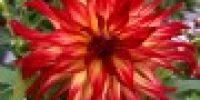 Daalia, paljon eri värejä, kerro toivomuksesi väristä tilauslomakkeen lopussa _vapaassa tekstikentässä_ (Smaller 120 x 120)