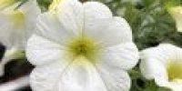 Miljoonakello, valkoinen (Smaller 120 x 120)