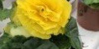 Mukulabegonia, keltainen
