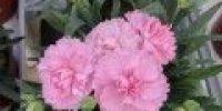 Neilikka, vaaleanpunainen (Smaller 120 x 120)