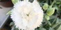 Neilikka, valkoinen (Smaller 120 x 120)