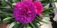 Neilikka, violetti (Smaller 120 x 120)