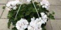 Pelargoni amp, valkoinen
