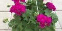 Pelargoni amp, violetti