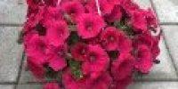 Petunia amp, vaaleanpunainen