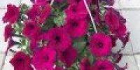 Petunia amp, violetti