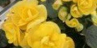 Ruusubegonia, keltainen