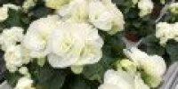 Ruusubegonia, valkoinen