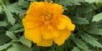 Samettikukka, keltainen