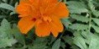 Samettikukka, oranssi