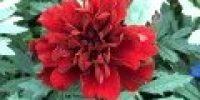 Samettikukka punainen