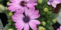 Tähtisilmä, violetti