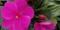 Uuden-Guinean liisa, violetti